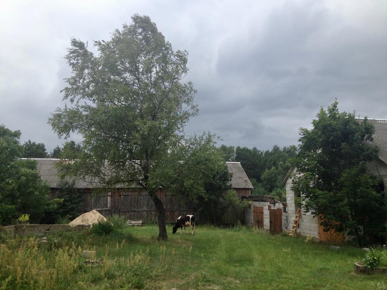 krowa obejście podwórko