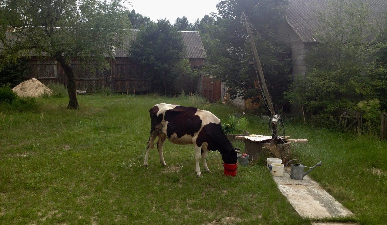 krowa obejście studnia inwentarz