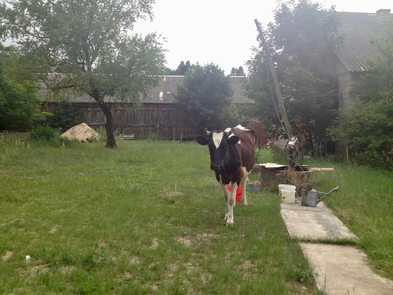 Krowa obejście podwórze