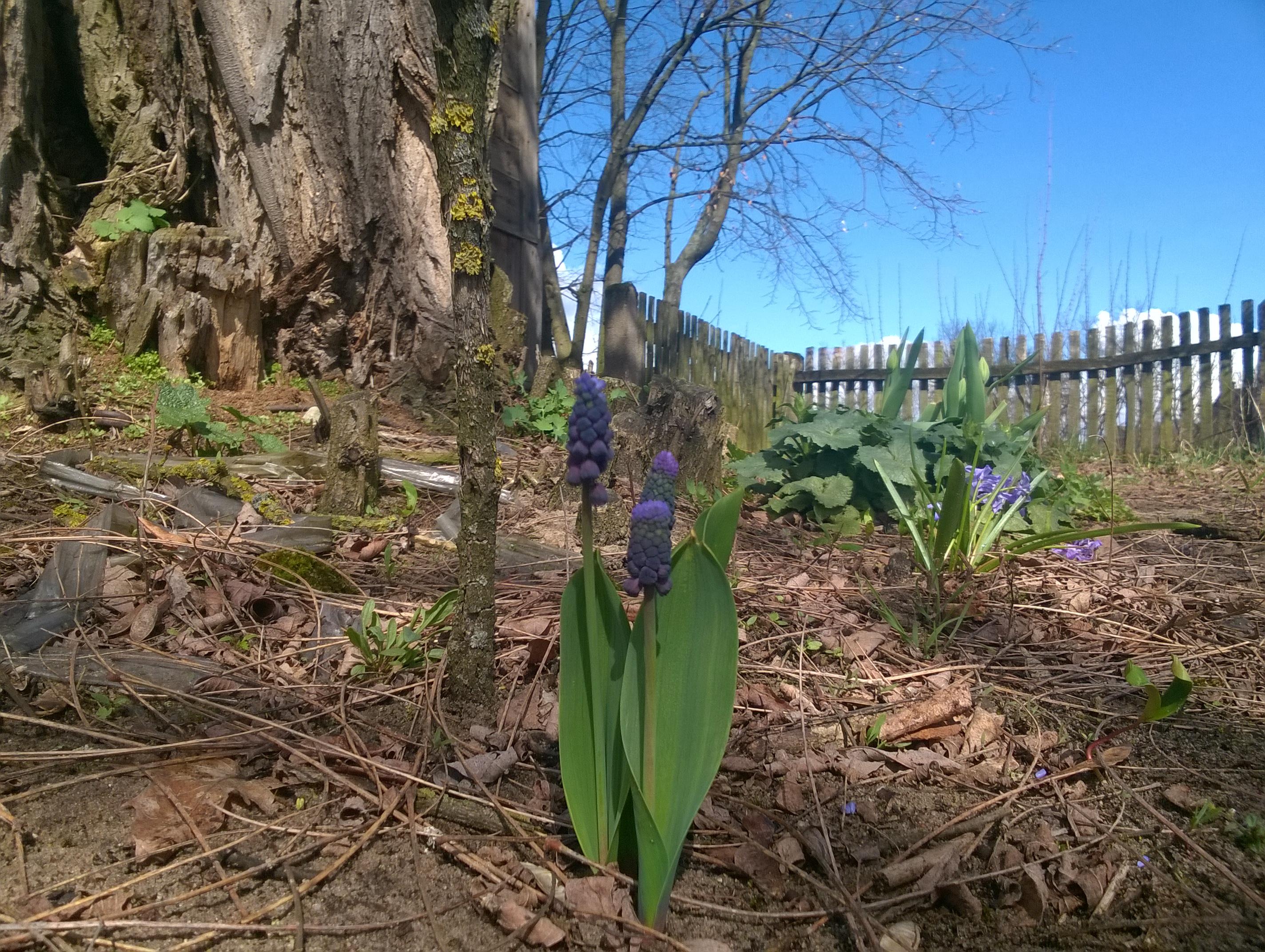 wiosna, kwiaty cebulkowe, stara akacja