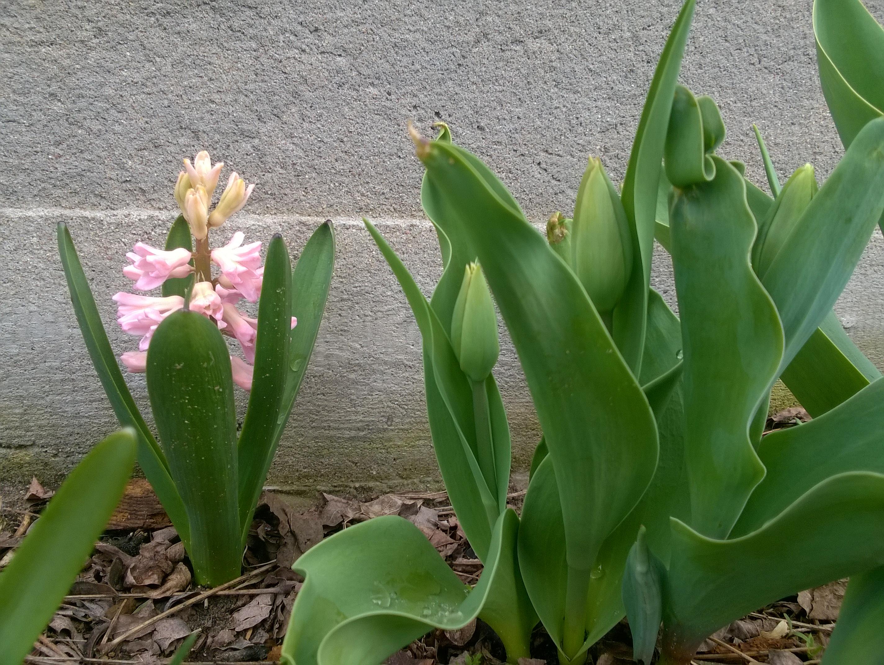 wiosna hiacynt