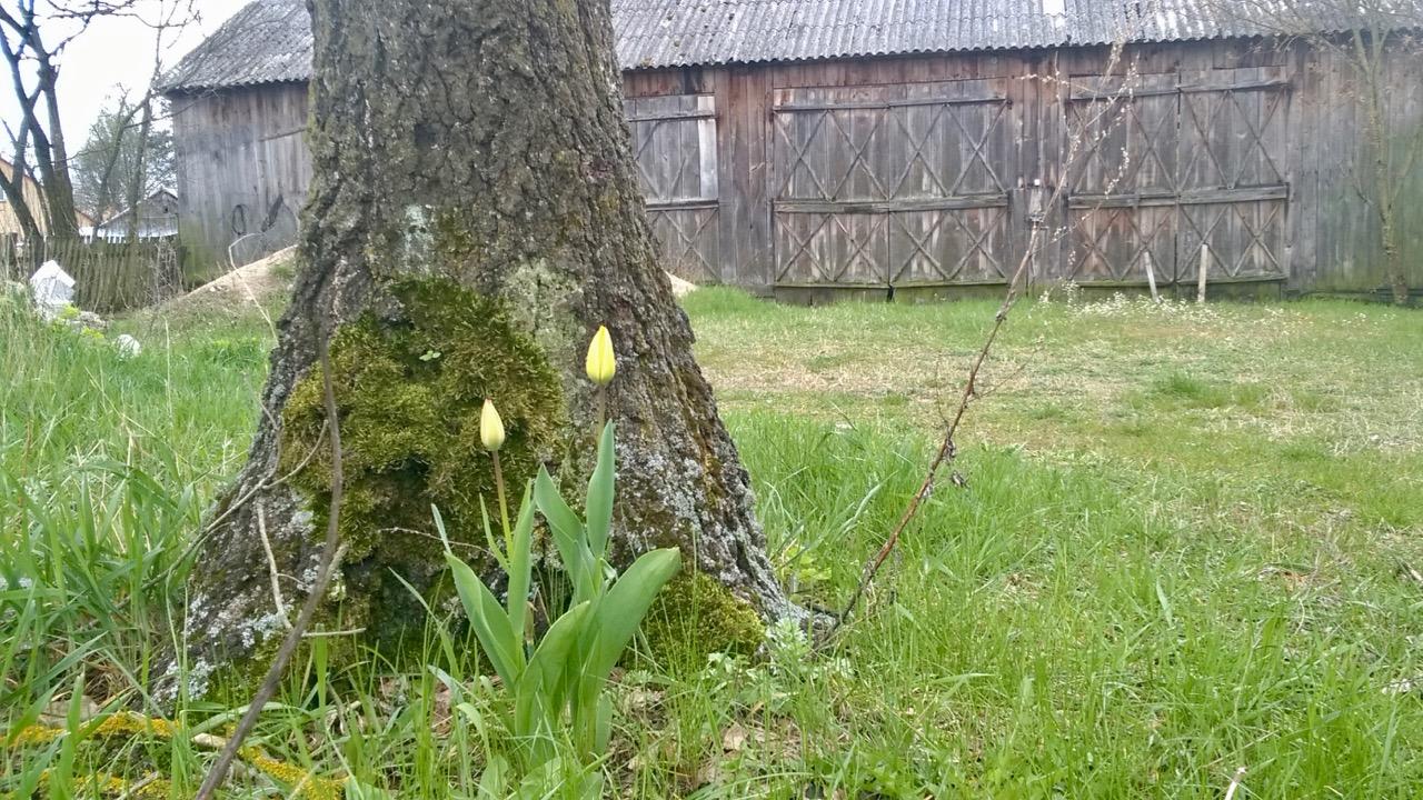 tulipany złota górka